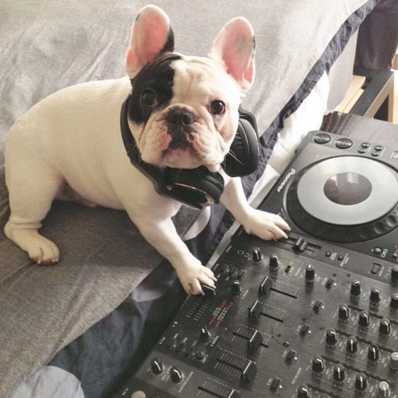 French Bulldog is a DJ