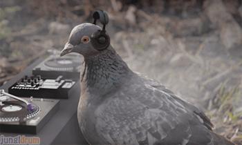 Pigeon DJ