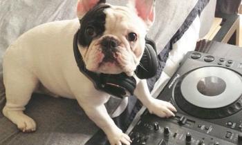French Bulldog is a DJ
